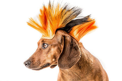 Photograph - Punk Rock Dachshund by SR Green