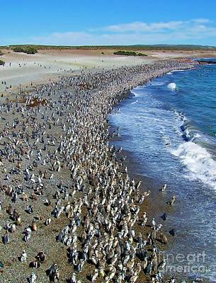 Photograph - Punta Tombo Megellan Penguins by Michele Penner
