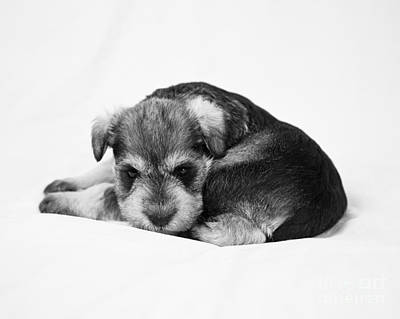 Photograph - Puppy 1 by Serene Maisey