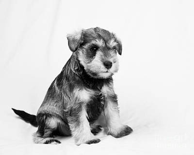 Photograph - Puppy 2 by Serene Maisey