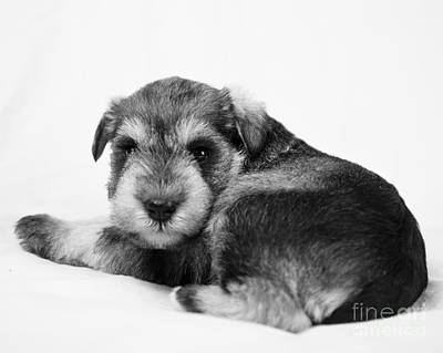Photograph - Puppy 3 by Serene Maisey