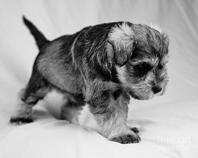 Photograph - Puppy 4 by Serene Maisey