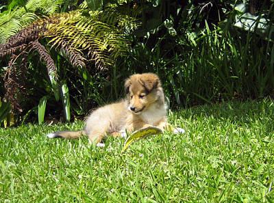 Miniature Collie Photograph - Puppy Days by Sheltie Planet