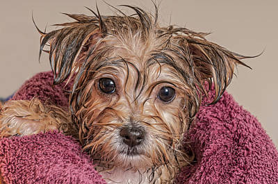 Puppy Getting Dry After His Bath Art Print