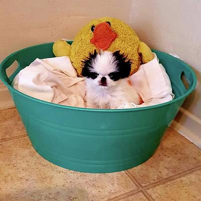 Japanese Chin Puppy Photograph - Puppy In A Bucket, Japanese Chin by Kathleen Sepulveda