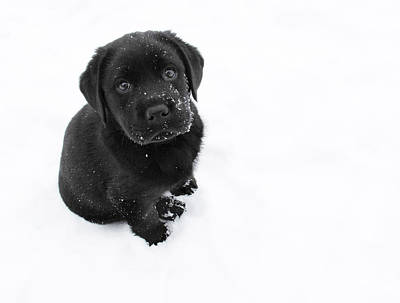 Black And White Photograph - Puppy In The Snow by Larry Marshall