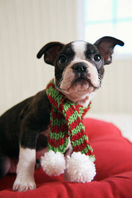 Boston Terrier Photograph - Puppy Wearing Red And Green Striped by Gillham Studios