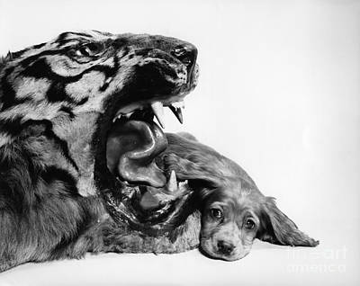Puppy With Stuffed Tiger, C.1950s Art Print by H. Armstrong Roberts/ClassicStock