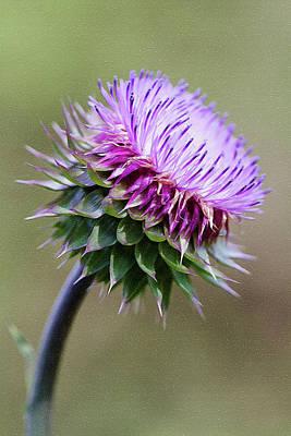 Photograph - Purdy Lavender Bristle Thistle by Kathy Clark
