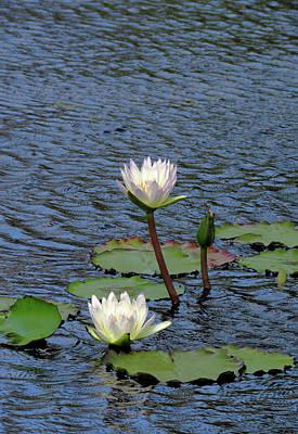 Photograph - Pure Cream Water Lilies by Rosalie Scanlon