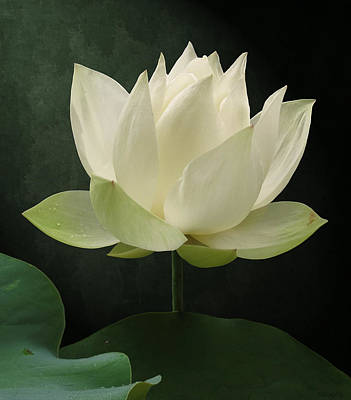 Photograph - Pure Lotus by Deborah Smith