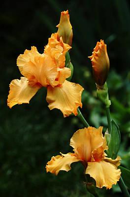 Photograph - Pure Orange Iris by Debbie Oppermann