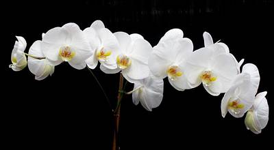 Pure Orchid Art Print by Jeanette Oberholtzer