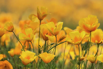 Photograph - Pure Spring Gold  by Saija Lehtonen