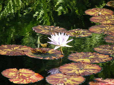 Pure Water Lily Art Print by Jeanette Oberholtzer