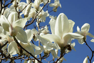Photograph - Pure White Blossom by Cate Franklyn