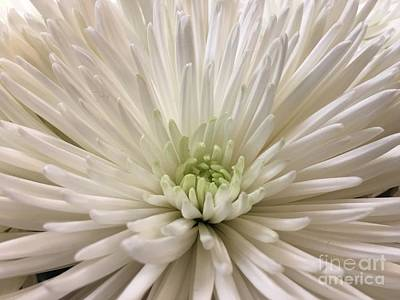 Photograph - Pure White Chrysanthemum by Jeannie Rhode