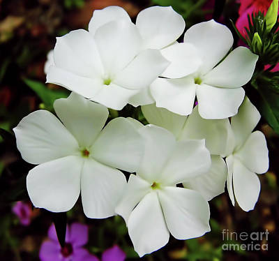Photograph - Pure White Phlox by D Hackett