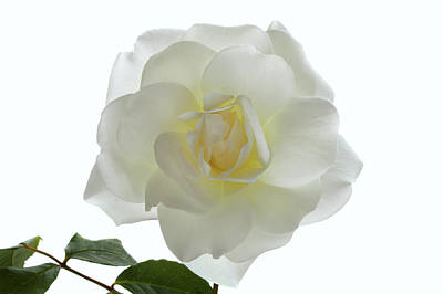 Photograph - Pure White Rose by Terence Davis