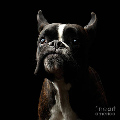 Purebred Boxer Dog Isolated On Black Background Print by Sergey Taran