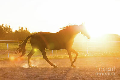 Photograph - Purebred Horse Running In The Padlock In The Sunset. by Michal Bednarek