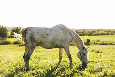 Photograph - Purebred White Horse Eating Grass On A Field. by Michal Bednarek