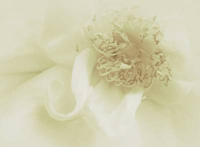 White Roses Photograph - Purely Enchanted by The Art Of Marilyn Ridoutt-Greene