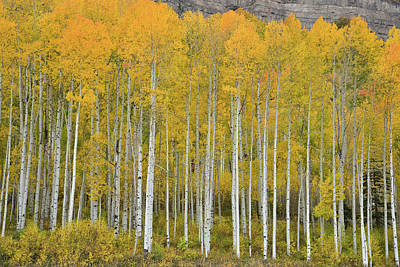 Photograph - Purgatory Aspen Grove by Ray Mathis