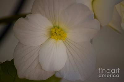 Photograph - Purity Of The White Begonia by Terri Thompson
