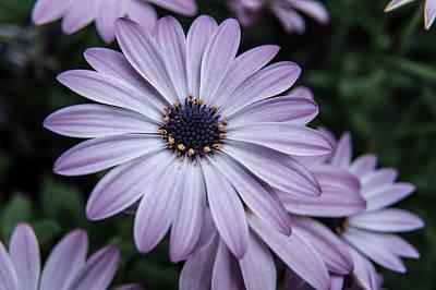 Photograph - Purple African Daisy by Helen Northcott