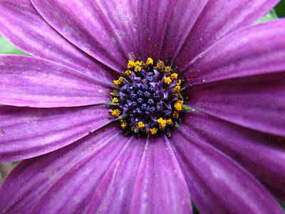 Purple African Daisy Art Print