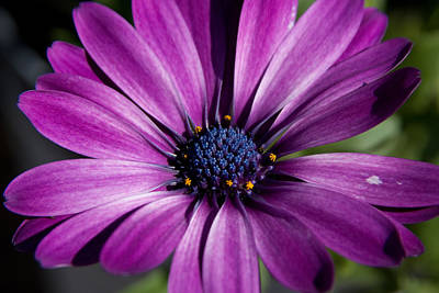 Purple African Daisy Print by Robert  Torkomian