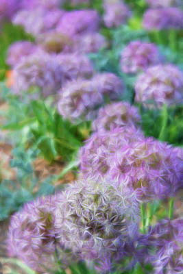 Photograph - Purple Allium Flower Garden In Late Spring by Barbara Rogers Nature Inspired Art Photography