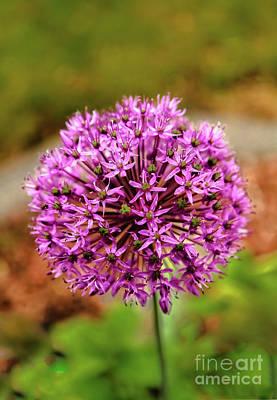 Scallion Photograph - Purple Allium  by Robert Bales
