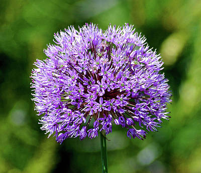 Purple Allium Art Print
