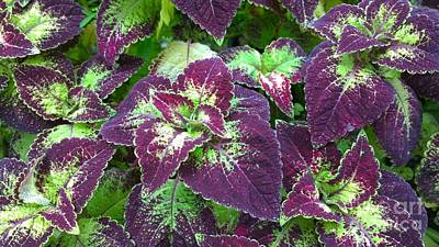 Photograph - Purple And Green Coleus by Jennifer E Doll