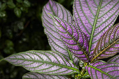 Photograph - Purple And Green Foliage by Phil Cardamone