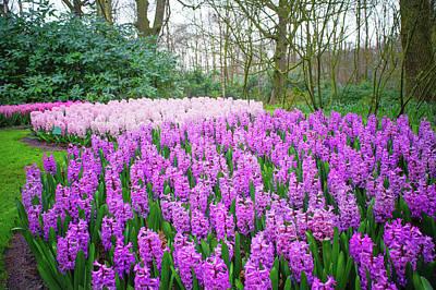 Photograph - Purple Hyacinth Display In Keukenhof by Jenny Rainbow
