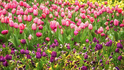 Photograph - Purple And Pink Tulips In Canberra In Spring by Daniela Constantinescu