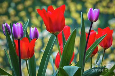 Photograph - Purple And Red Tulips by Mitch Shindelbower
