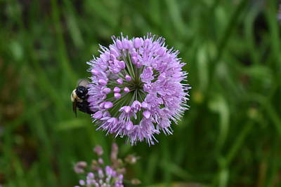 Photograph - Purple And The Bee by Nina Kindred