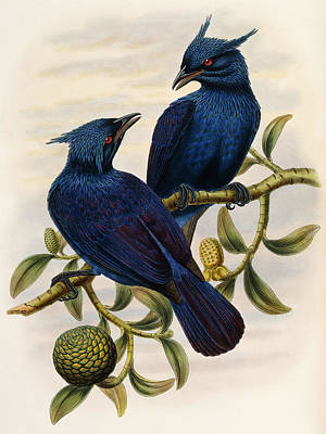 Genus Painting - Purple And Violet Manucode by John Gould