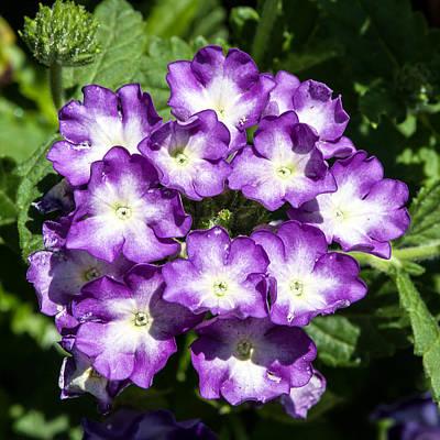 Photograph - Purple And White Bouquet by John Haldane