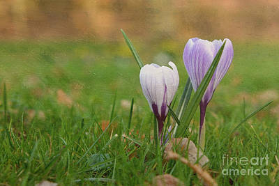Nikki Vig Royalty-Free and Rights-Managed Images - Purple and White Crocus Flowers by Nikki Vig