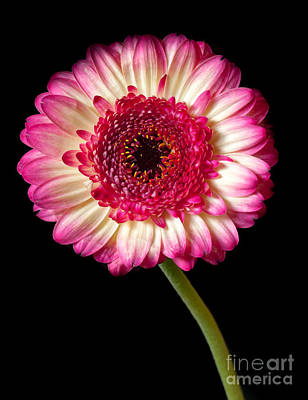 Photograph - Purple And White Gerbera by Colin Rayner