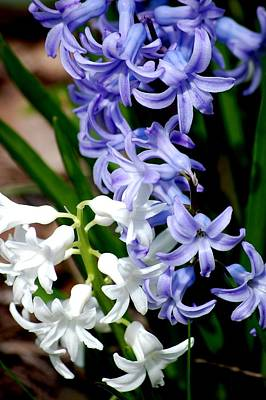 Photograph - Purple And White Hyacinth by David Lane