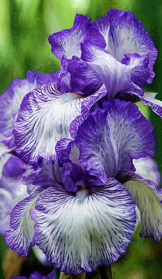 Photograph - Purple And White Iris by Wes and Dotty Weber