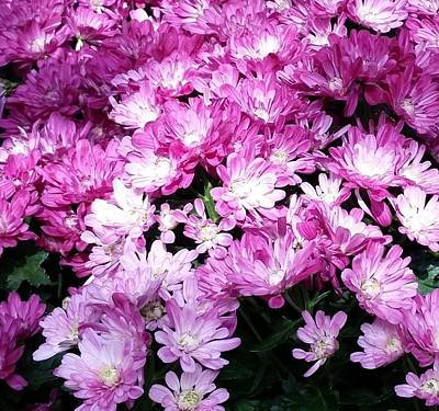 Photograph - Purple And White Mums Galore by Karen J Shine