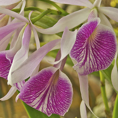 Mgp Photograph - Purple And White Orchid 2 by Michael Peychich