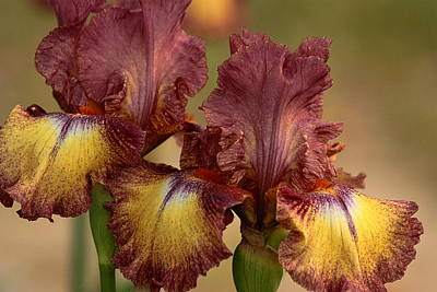 Art Print featuring the photograph Purple And Yellow Bearded Iris by Sheila Brown